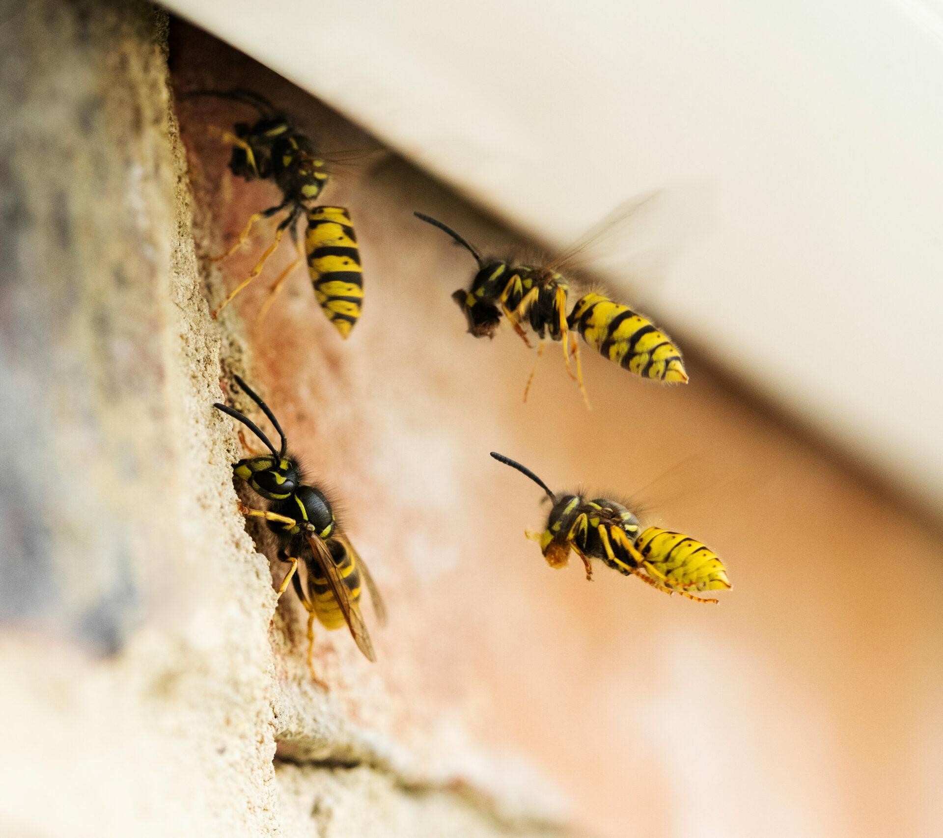 Professionelle Wespenbekämpfung von Fachbetrieb