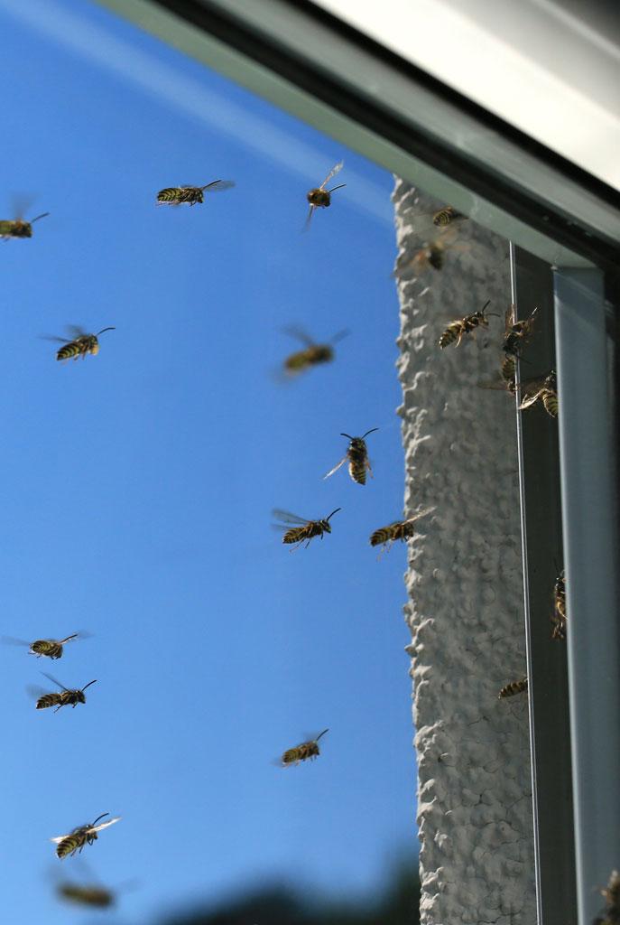 Wespenbekämpfung in Gütersloh und Umgebung - regionaler Kammerjäger